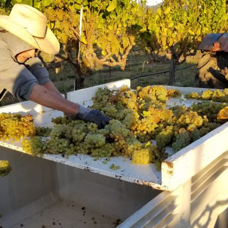 Workers harvesting grapes at Smith ranch