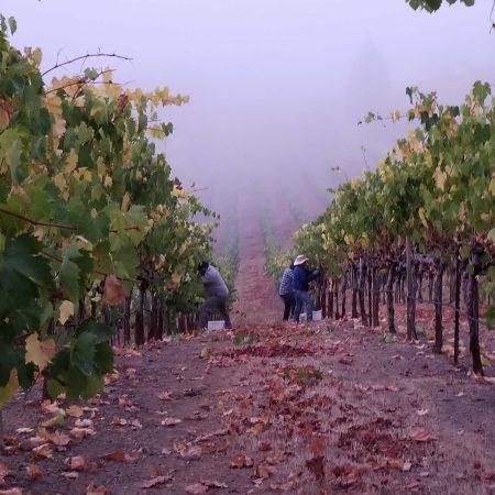 Vine row with fog at Ramazzotti Estates
