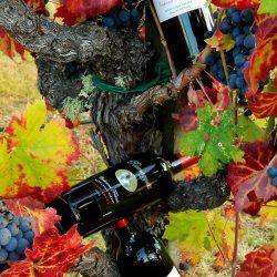 wine bottle against vines