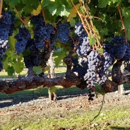 Cabernet Franc grapes at Pigoni Ranch