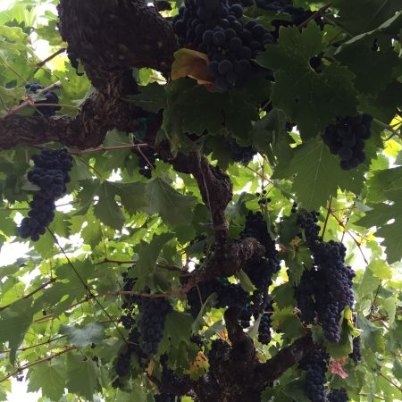Close up of grapes on vine