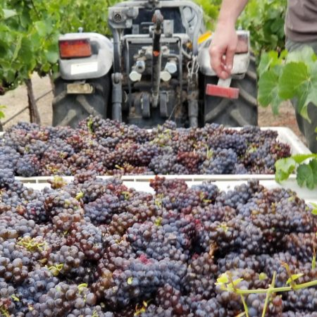 Harvested grapes in Green Valley