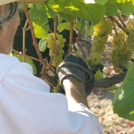 Worker picking grapes at Heller Ranch