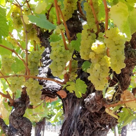Grape vine at Heller Ranch