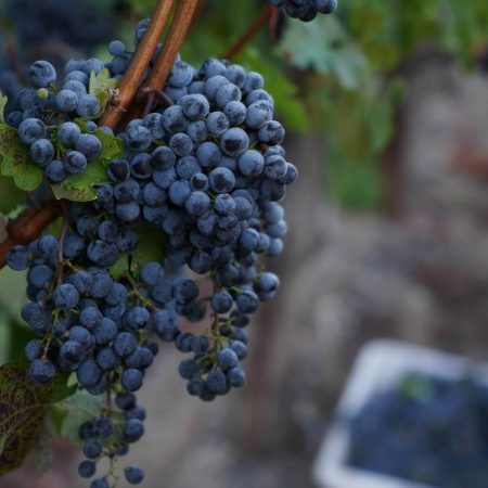 Cabernet Sauvignon grapes at Pigoni Ranch