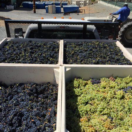 Grape varieties from Ramazzotti estates