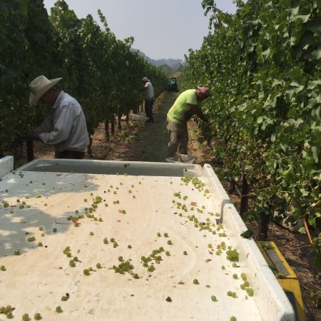 Harvesting grapes at Redwood Ranch