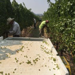 Workers harvesting grapes