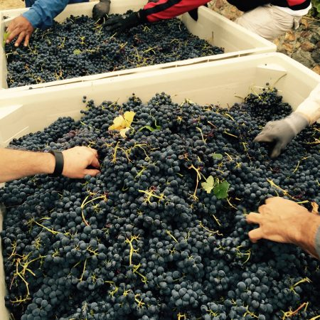 Sorting grapes from Ramazzotti estates