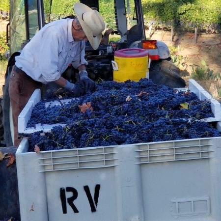 Sorting grapes at Ramazzotti estates