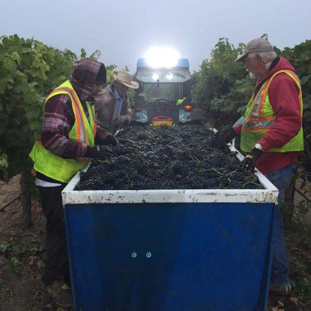 Syrah grapes at Pigoni Ranch
