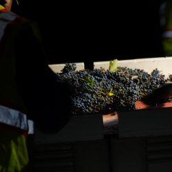 Harvested grapes
