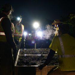Harvesting grapes at night