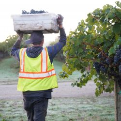 Worker carrying crate of grapes on head