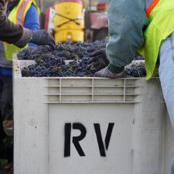 Crates of Ramazzotti grapes