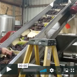Video of grapes going up conveyor belt